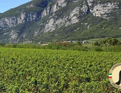 Pinot grigio DOC delle Venezie: tra pochi giorni il via alla seconda vendemmia della nuova DOC