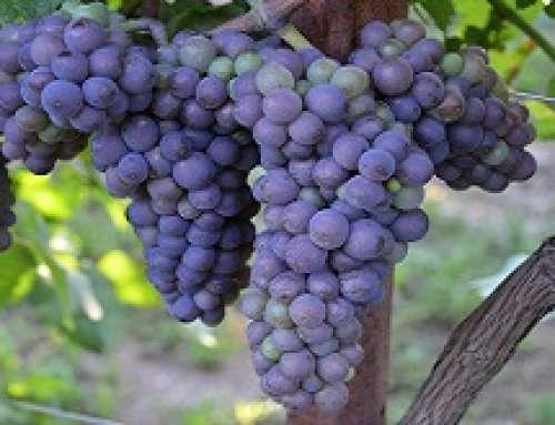 Ottima qualità delle uve: conclusa la prima vendemmia integralmente DOC del Pinot grigio delle Venezie