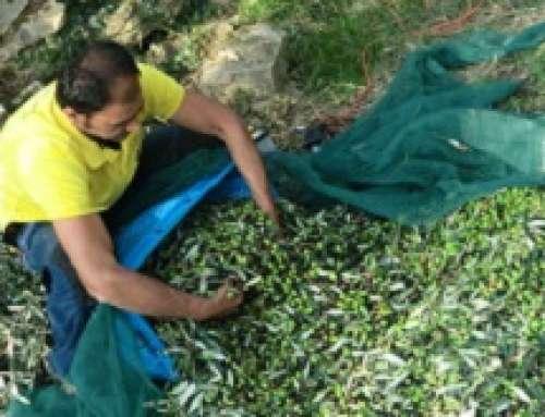 Fattore comune a Recco: il contributo del Consorzio di Tutela dell'Olio extravergine di oliva DOP Riviera Ligure
