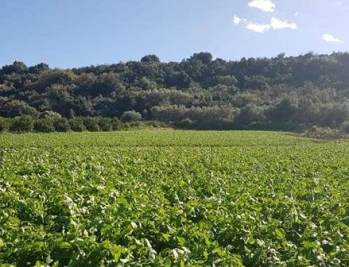 Patate Novelle: nel siracusano sviluppo vegetativo regolare grazie a trend climatico favorevole